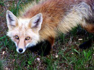 Prophet Climate Ministries Little-Foxes-300x225 Little Foxes